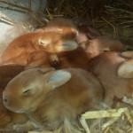 Les lapins de la ferme