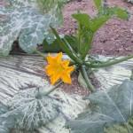 La fleur de la courgette